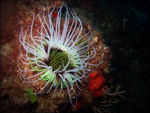 Underwater Tulip