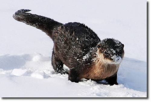 Otter playing in the snow.