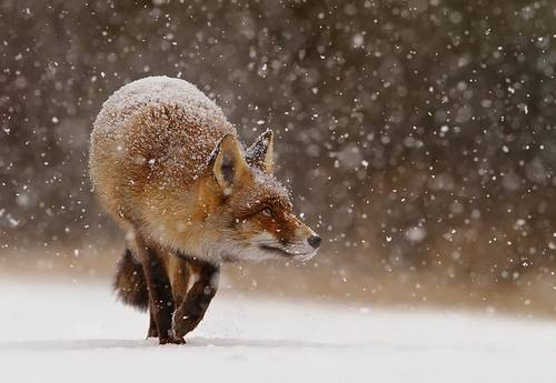 Fox' First Snow