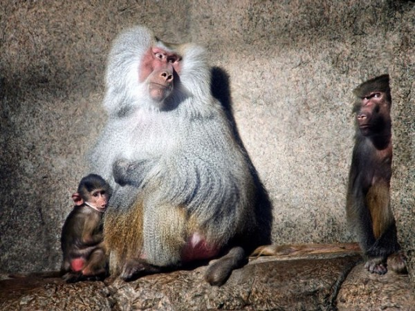 Baboons-photography