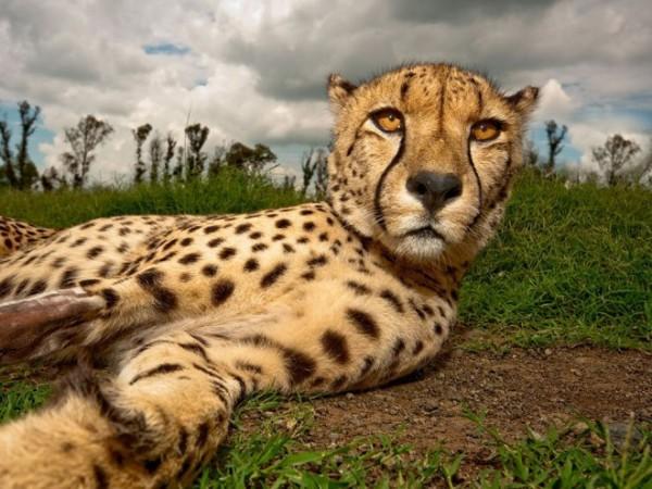 Cheetah-photography