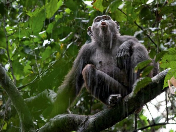 Chimp-photography