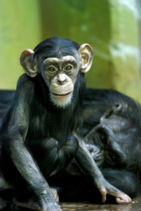 Chimpanzee-photography