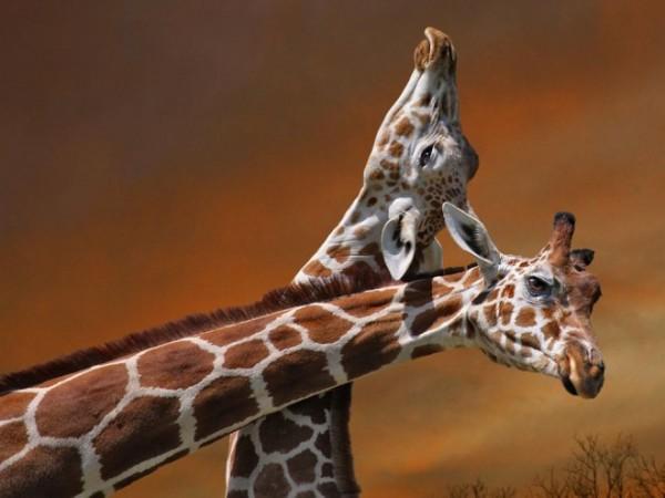 Giraffe-mother-calf-photography