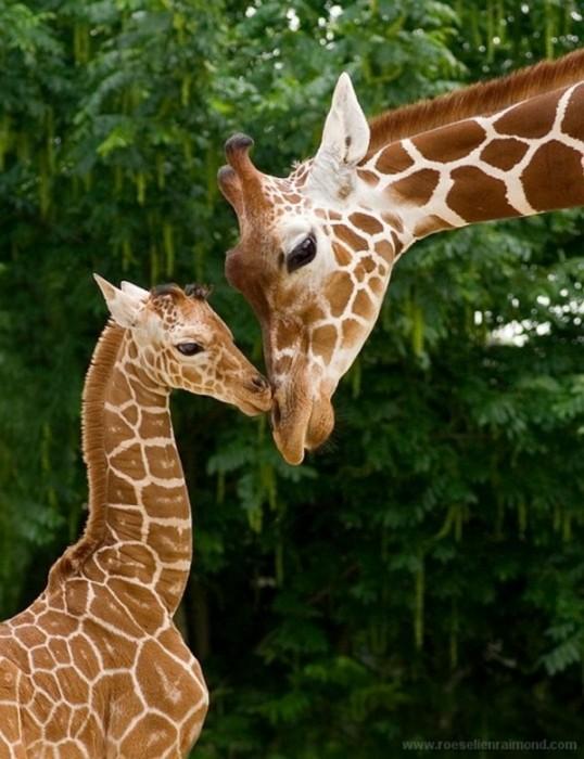 Giraffe-photography