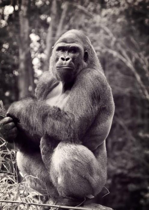 Gorilla-photography-3