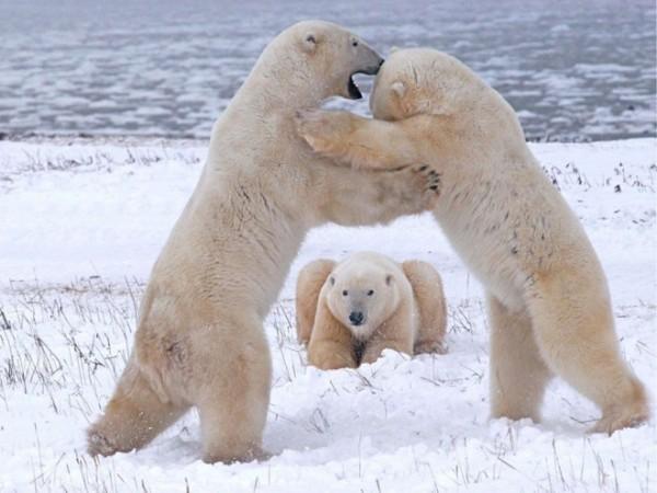 Polar-bears-playing-photography