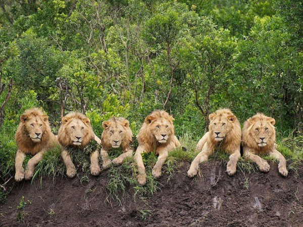 Resting-lions-photography