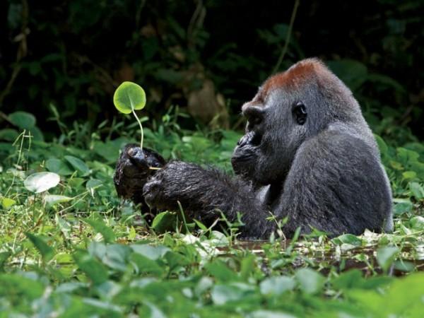 Silverback-gorilla-photography